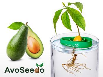 AvoSeedo - züchte Avocado